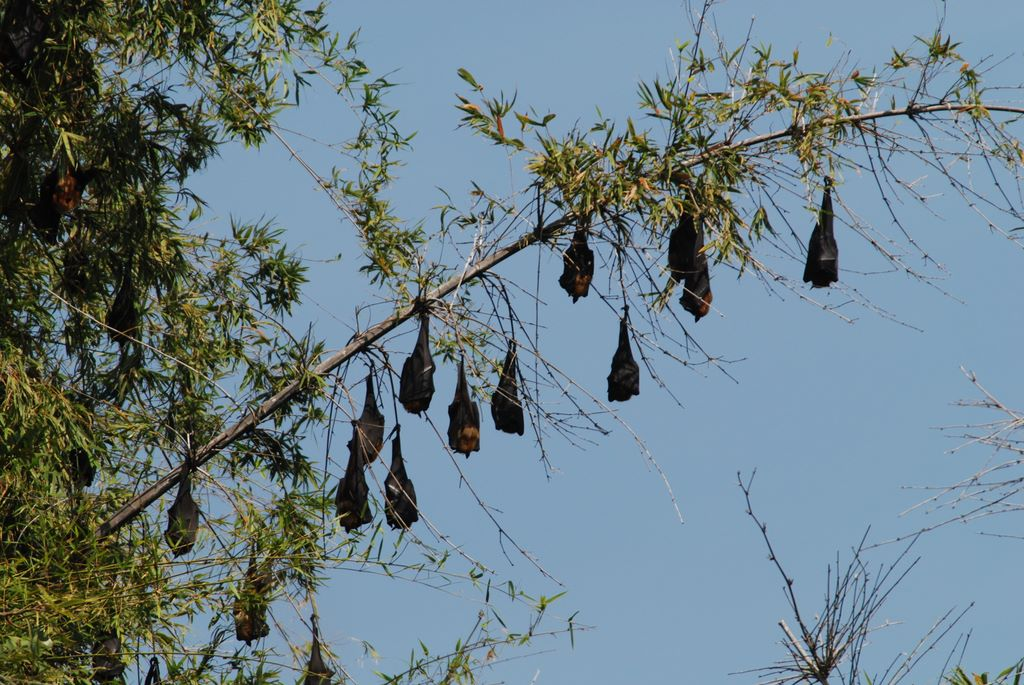 bat_colony_ranganthitu_2007_11_17