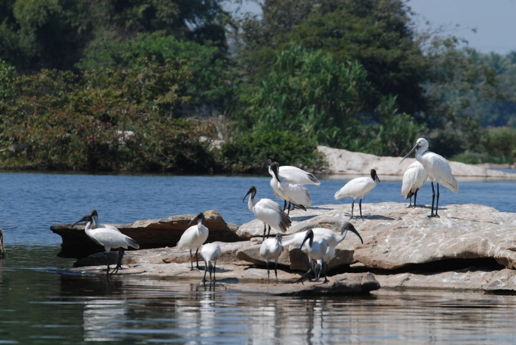 ibis_colony_1_ranganthitu_2007_11_17