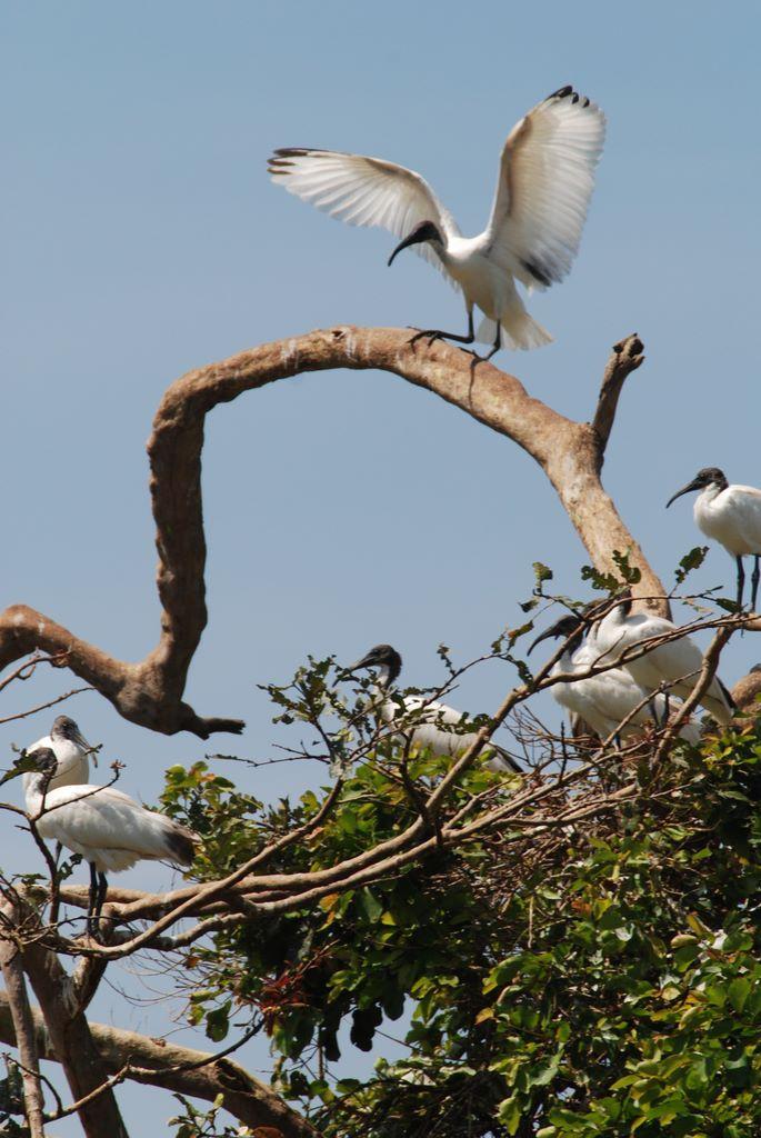 ibis_landing_2_ranganthitu_2007_11_17