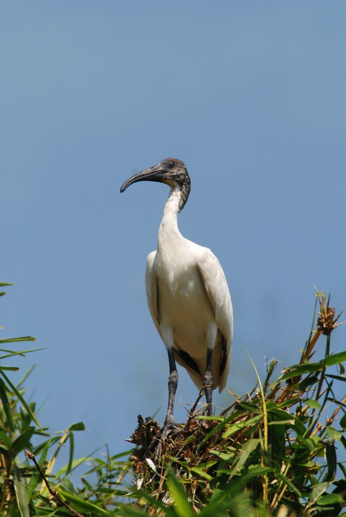 ibis_on_nest_1_ranganthitu_2007_11_17