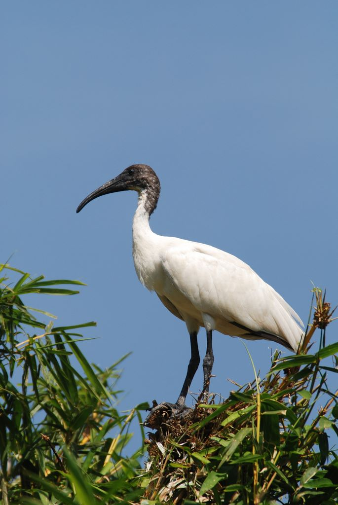 ibis_on_nest_2_ranganthitu_2007_11_17