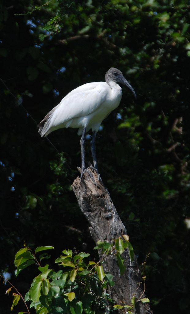 ibis_stumped_ranganthitu_2007_11_17