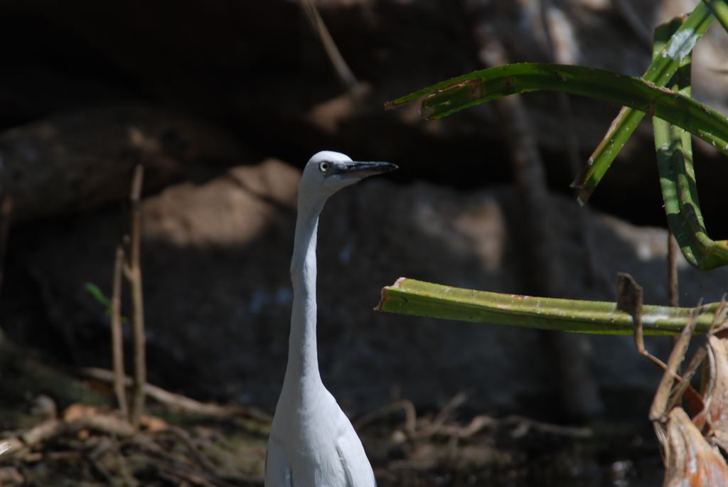 median_egret_1_ranganthitu_2007_11_17